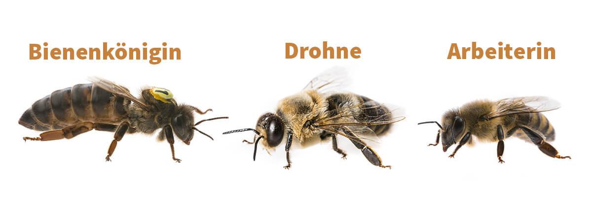 Bienenkönigin, Drohne und Arbeiterin