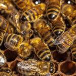 Bienen beim Wabenbau