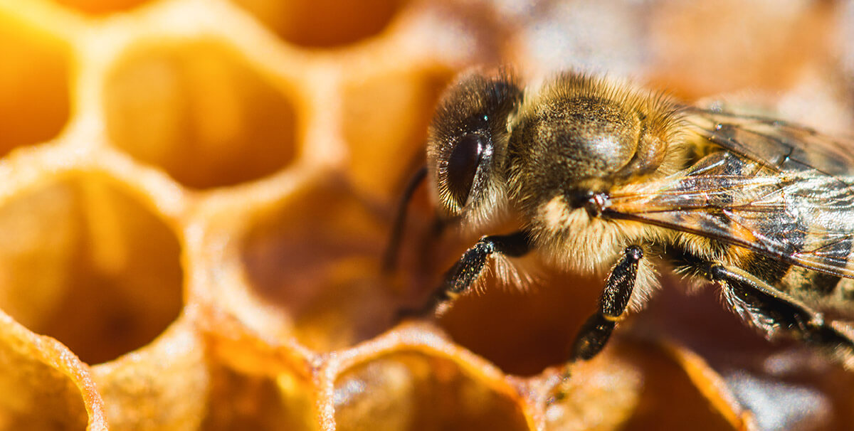 Bienen Wabenzelle
