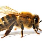 Apis mellifera Biene