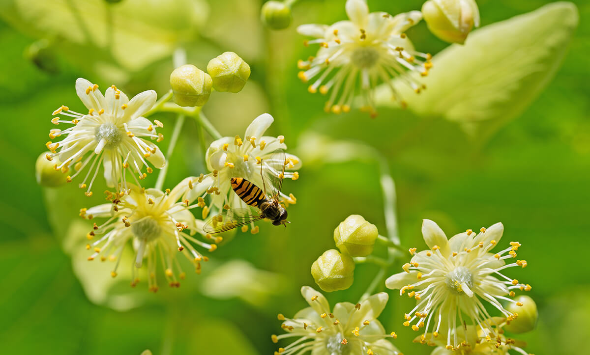 Biene Lindenblüte
