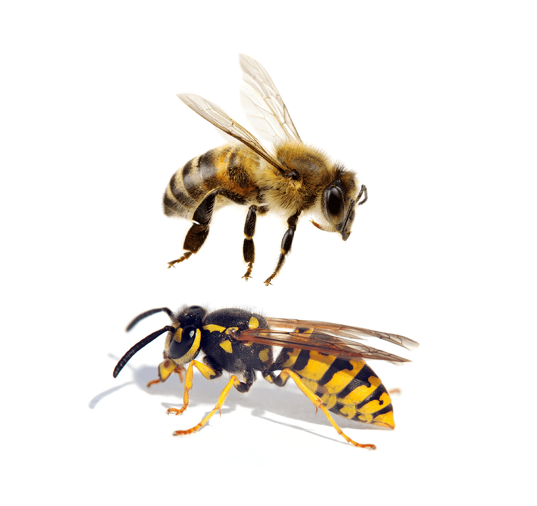 Biene oder Wespe