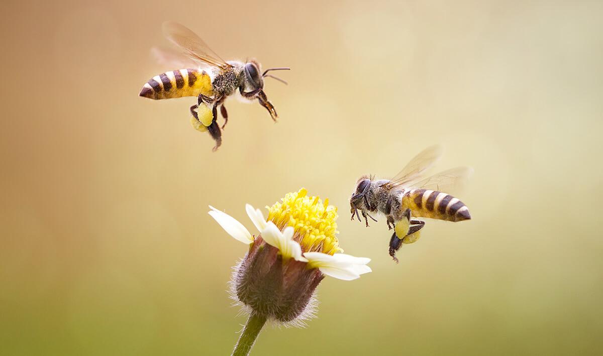 Biene Blume
