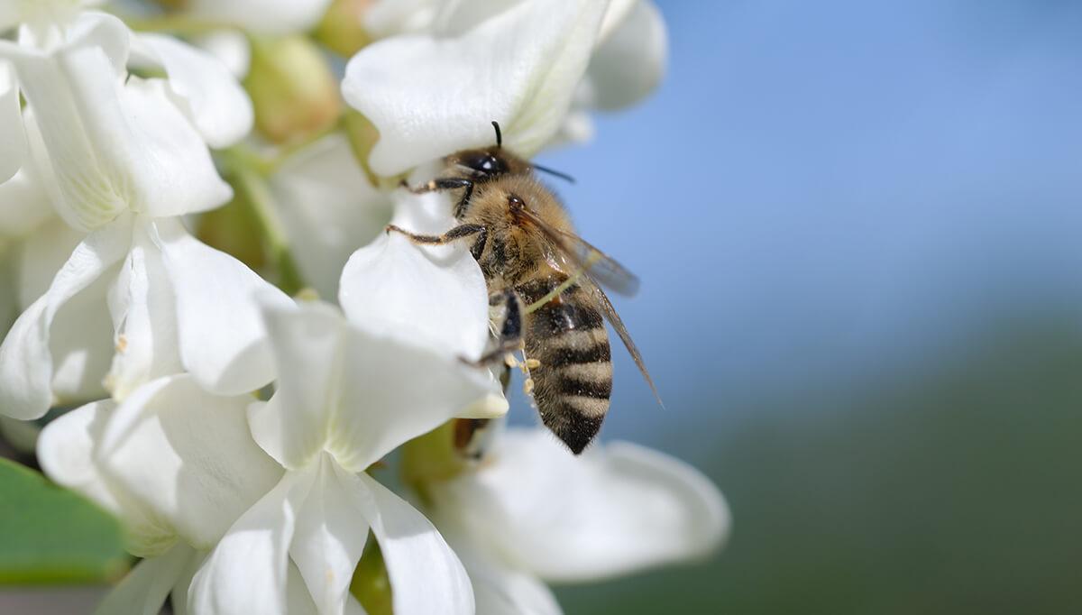 Biene an einer Akazie