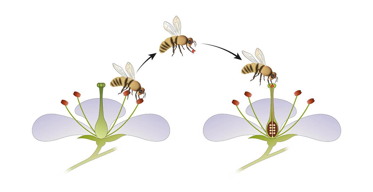 Bestäubung durch Bienen