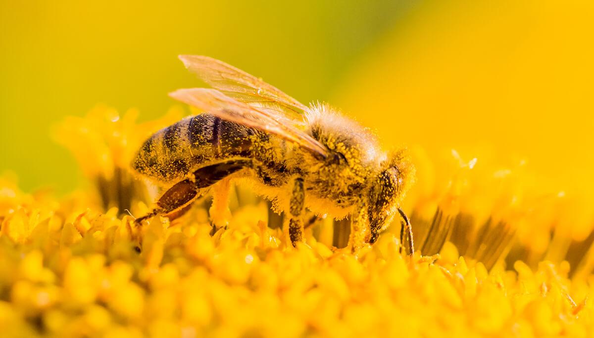 Biene Pollen