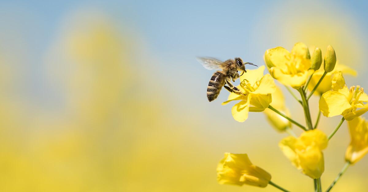 Biene sammelt Pollen
