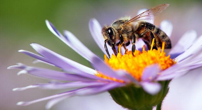 Bienen Bestäubung