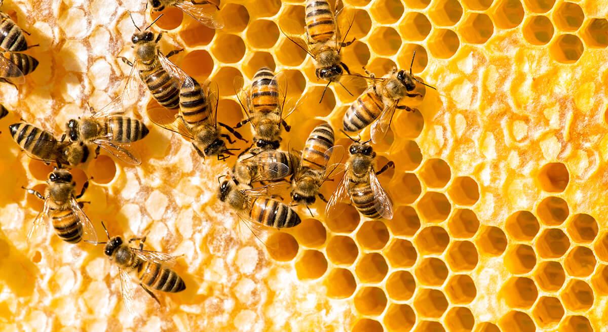 Bienen Wabe
