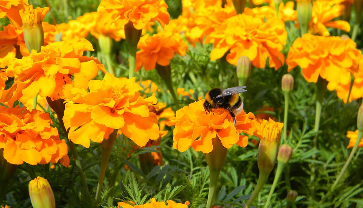 Biene auf einer Tagetes